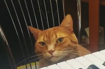 Un chat joue du piano